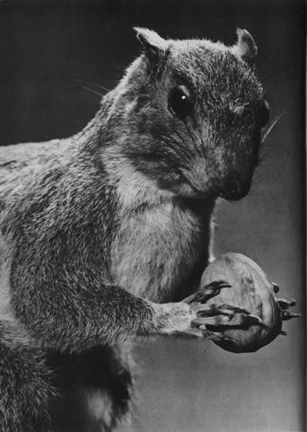 A squirrel using its hands Howard M. Lambert Studios